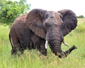50f9d-elephantintallgrass