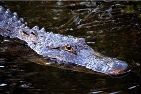 f1291-alligatoratevergladesnationalpark