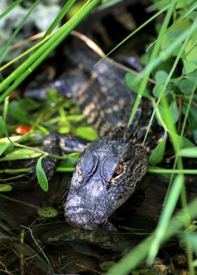 Baby Alligator at Everglades National Park