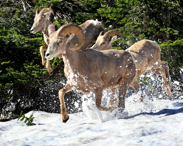 Bighorn Sheep Running in Snow