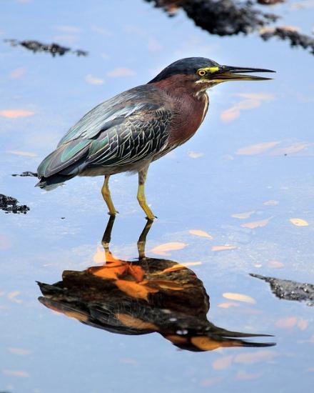 Heron at Biscayne National Park