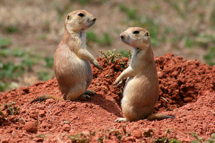 Prairie-Dogs-at-Wind-Cave-NP