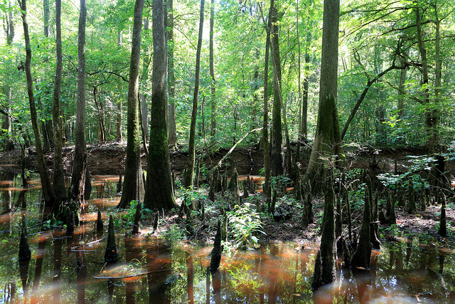 Trees in Congaree National Park