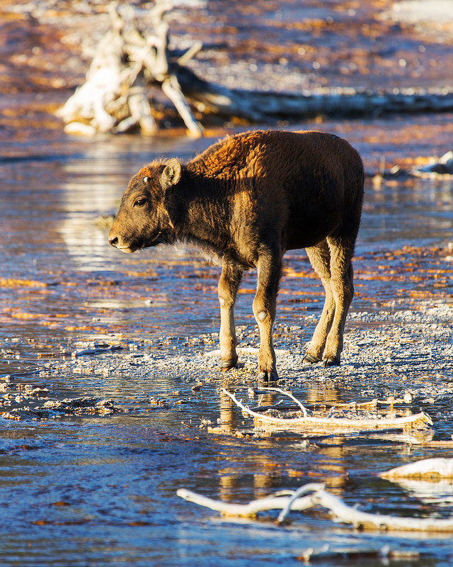 Bison Calf on Hot Springs