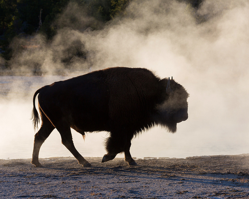 Bison in Steam