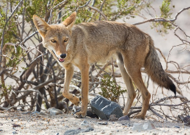 Death Valley Coyote on the Move