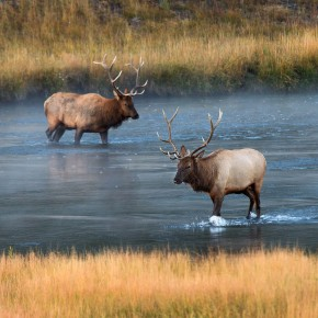 Elk Crossing the Madison River