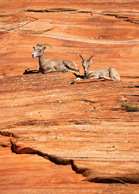 Portrait of Two Bighorn Sheep