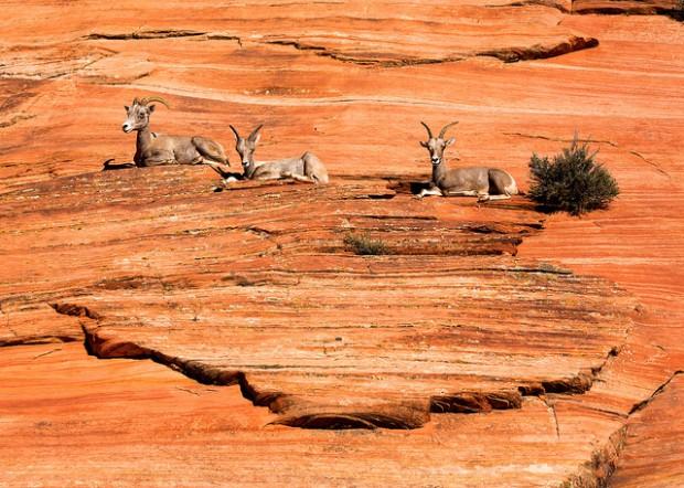 Three Bighorn Sheep at Zion