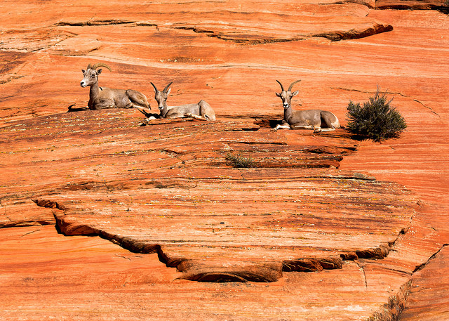 Three Bighorn Sheep at Zion