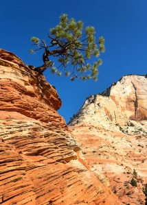 Zion Leaning Tree 2015