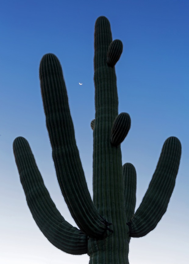 Crescent Moon Over Saguaro