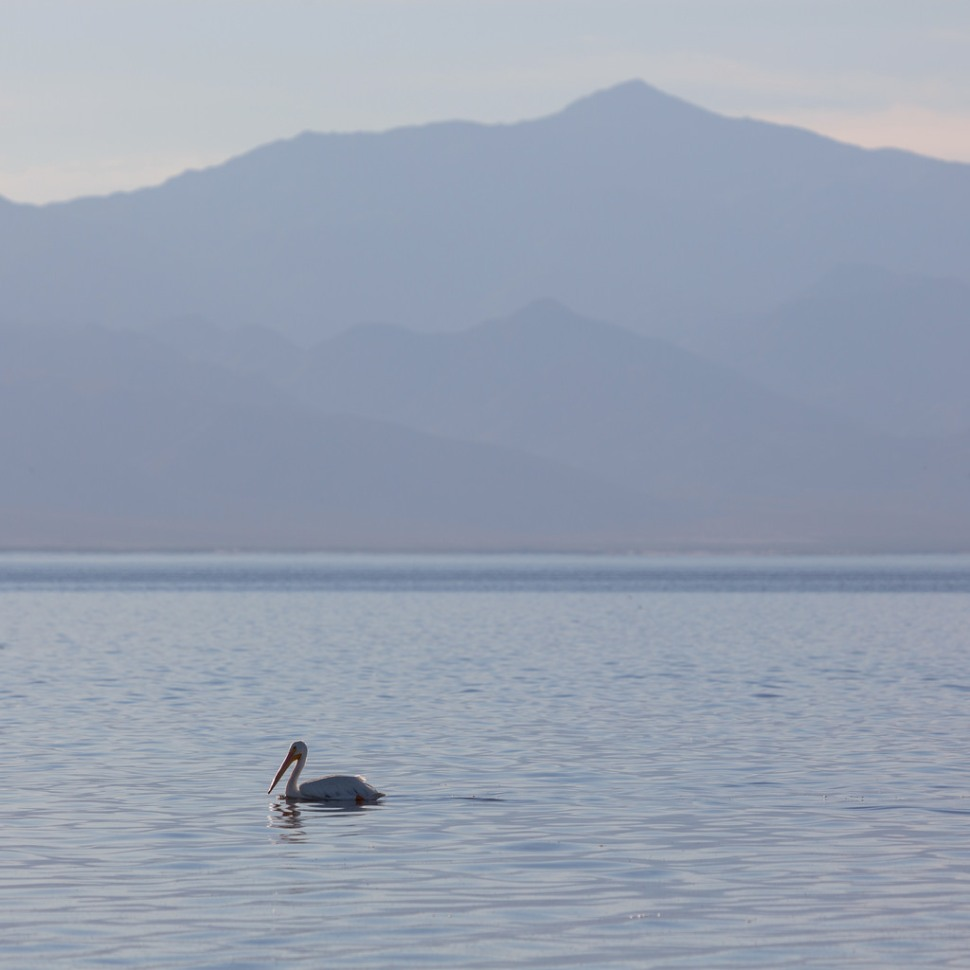 Lone Salton Sea Pelican