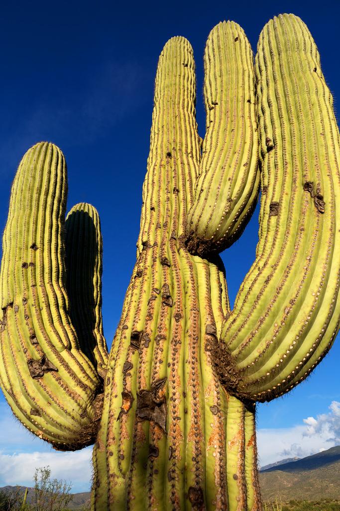 Saguaro Closeup