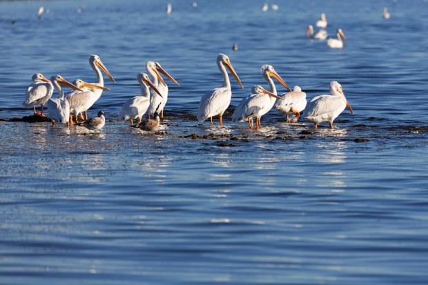 Salton Sea Pelicans