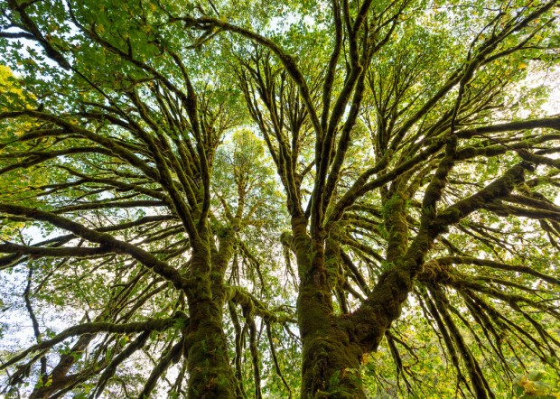 Mossy Tree at Redwoods National Park