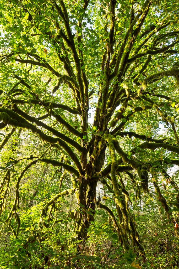 RNP Mossy Tree