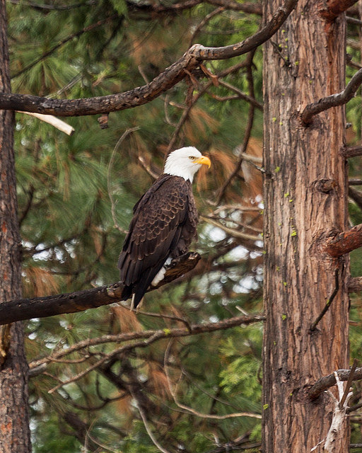 Bald Eagle at Yosemite
