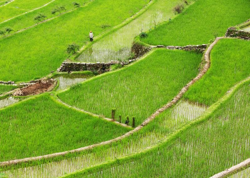 Woman Walking on Batad Rice Terraces