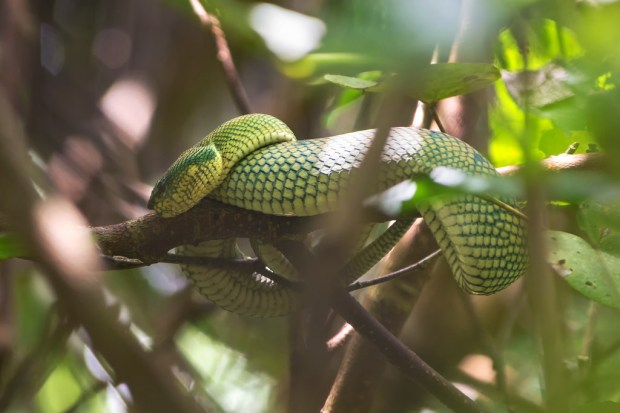 Another Pit Viper at Bako