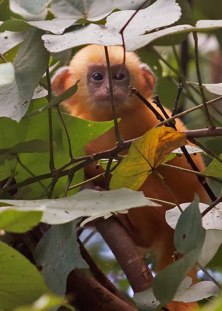 Baby Silvered Leaf Monkey