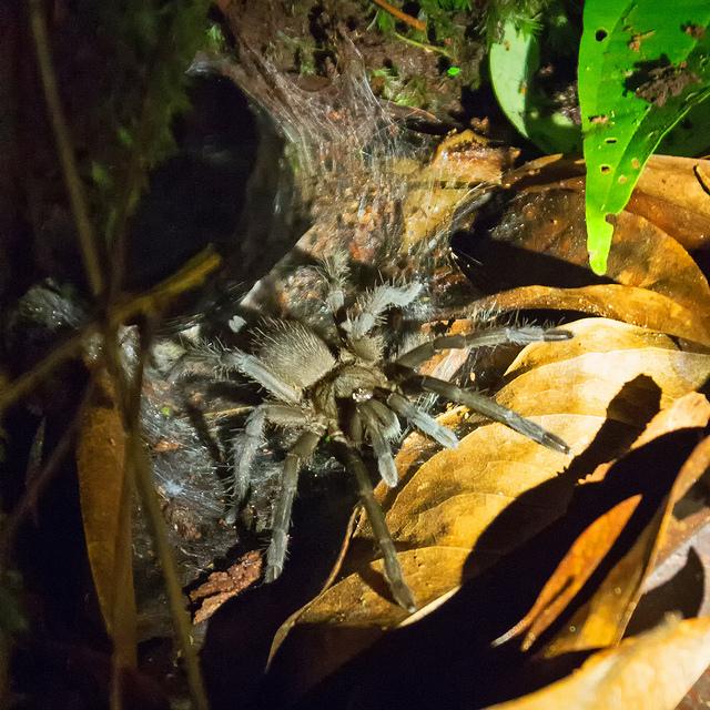 Bako Tarantula at Night
