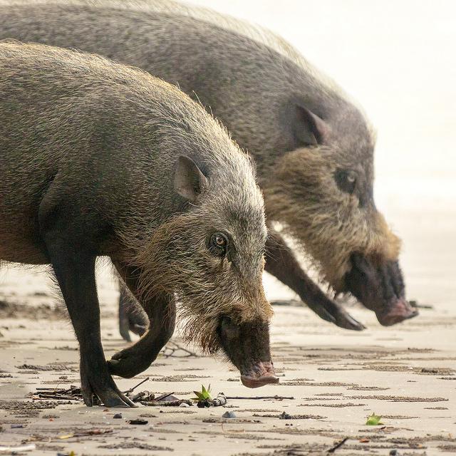 Bearded Pigs at Bako