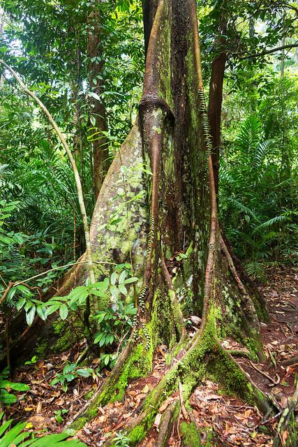 Big Tree in Bako