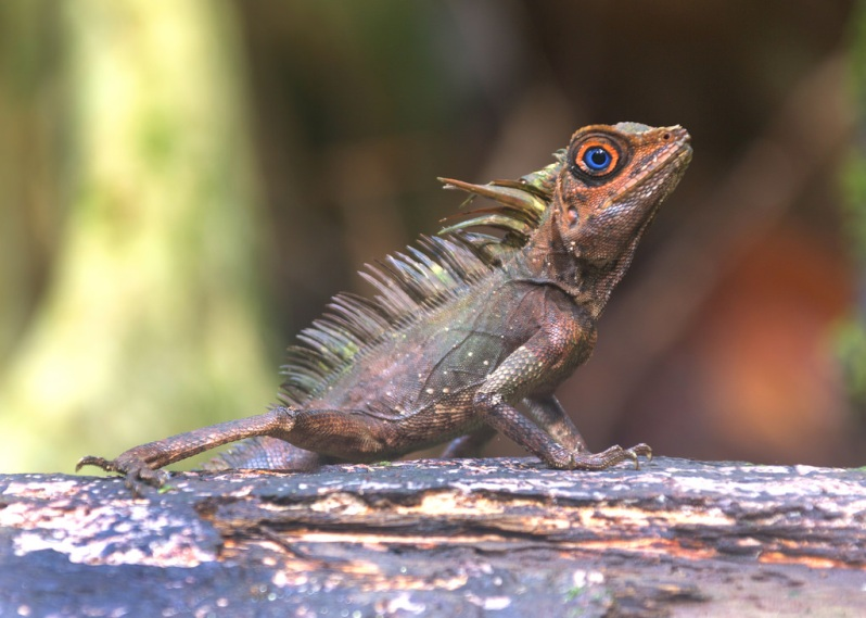 Blue-eyed Angle-headed Lizard