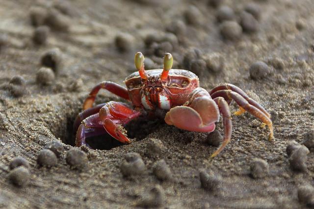 Crab at Bako