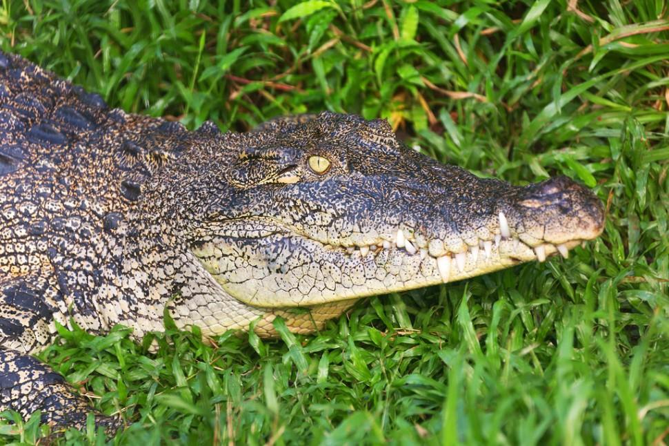Crocodile at Semenggoh