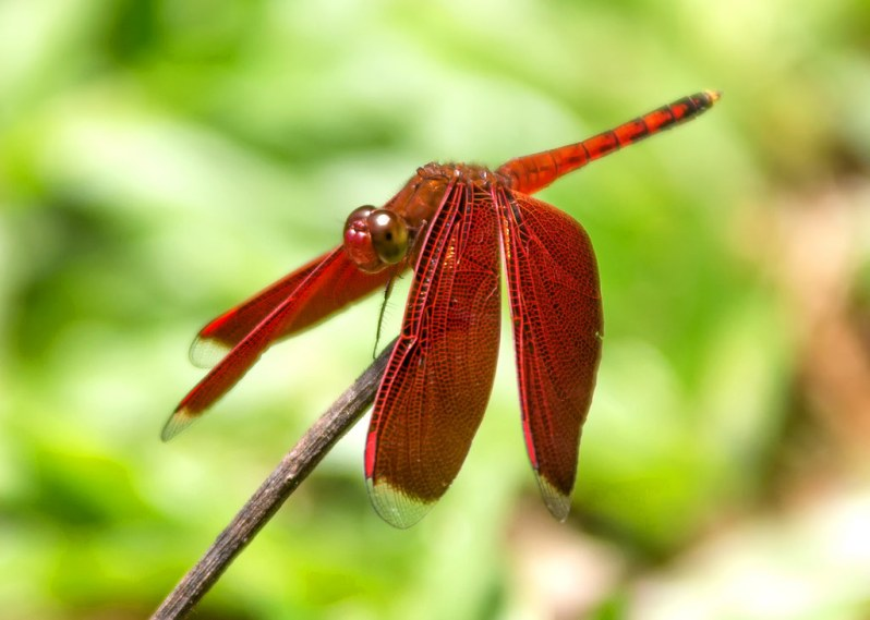 Dragonfly at Bako