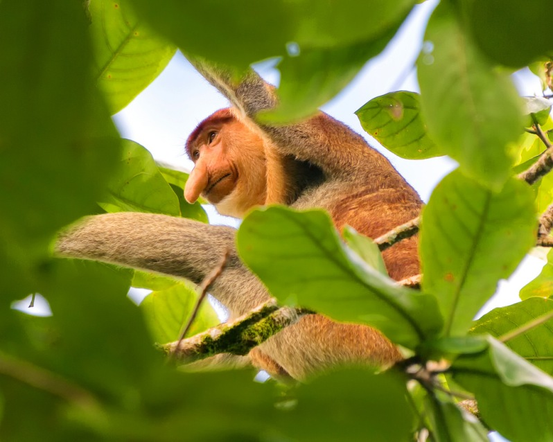 First Glimpse of a Proboscis Monkey