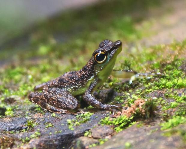 Frog at Kubah