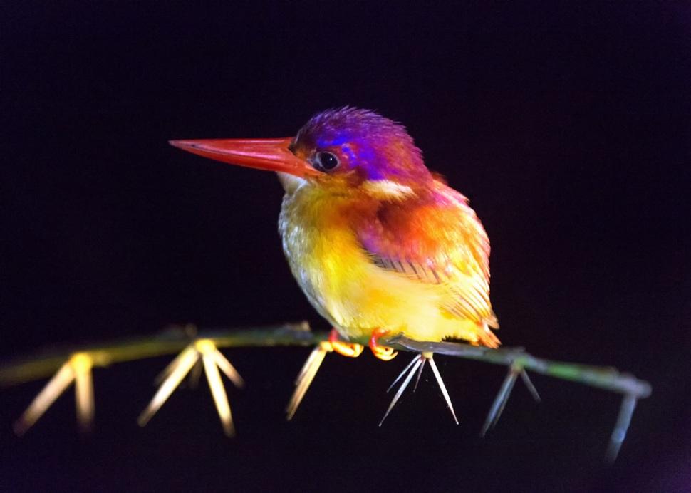Kingfisher at Night in Bako