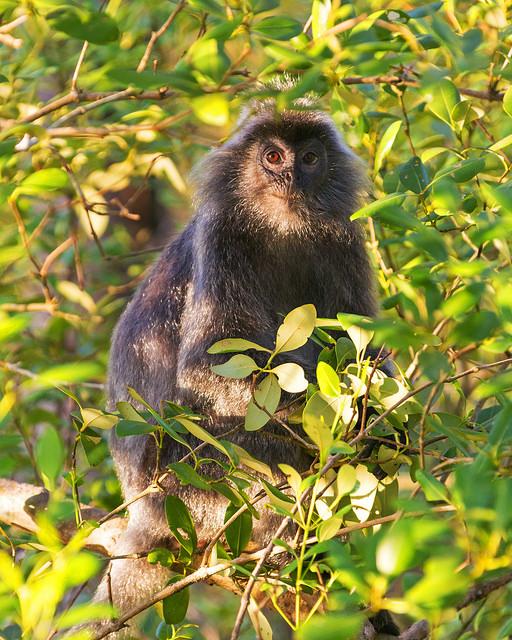 Late Light on Silvered Leaf Monkey