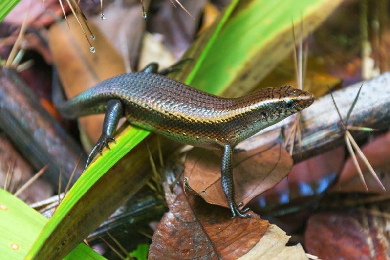 Lizard at Bako