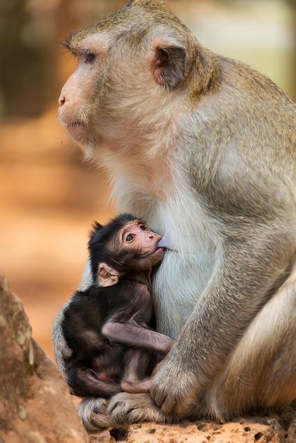 Macaque Baby Nursing at Angkor