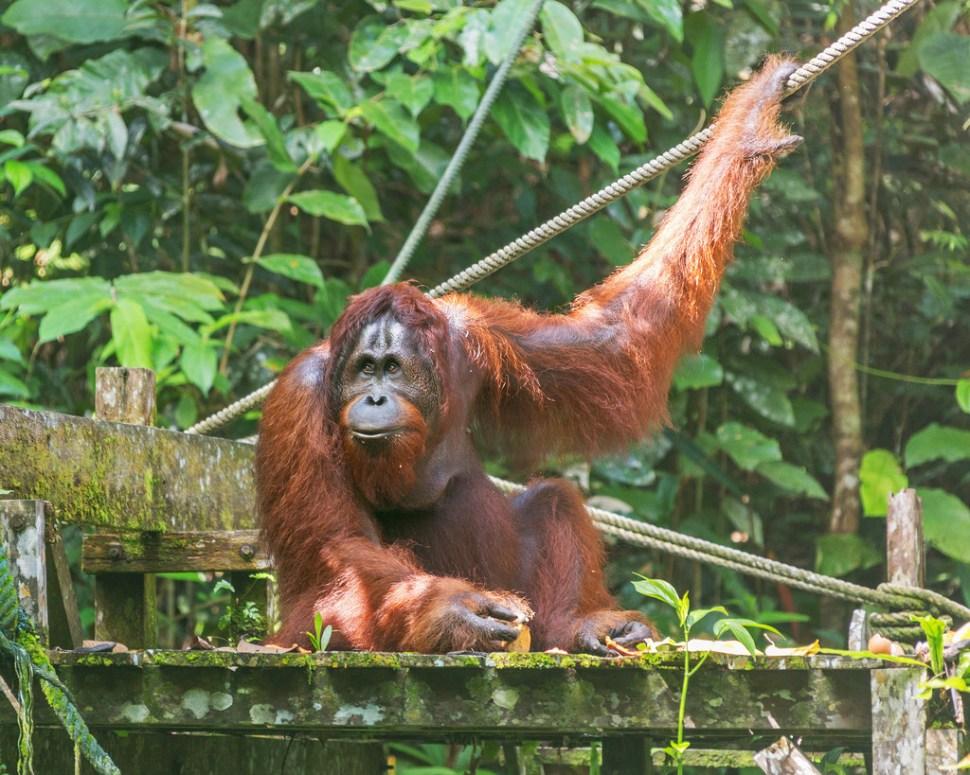 Male Orangutan at Semenggoh
