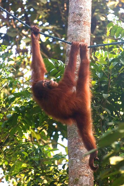 Orangutan at Semenggoh