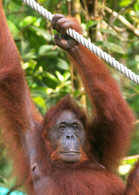 Orangutan Hanging from Cable