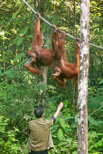 Orangutans Taking Bananas at Semenggoh