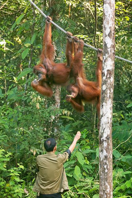 Orangutans Taking Bananas at Semenggoh