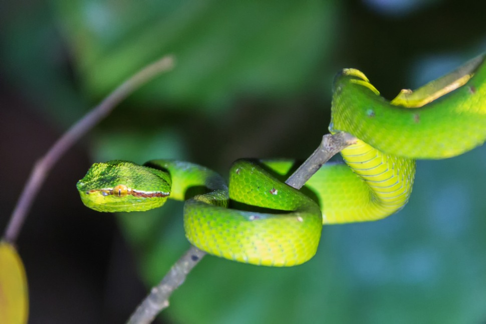 Pit Viper at Night