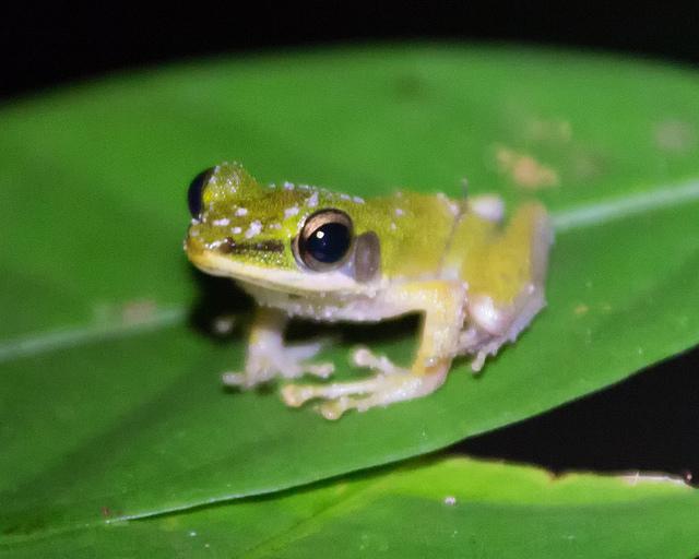 Poisonous Rock Frog in Bako