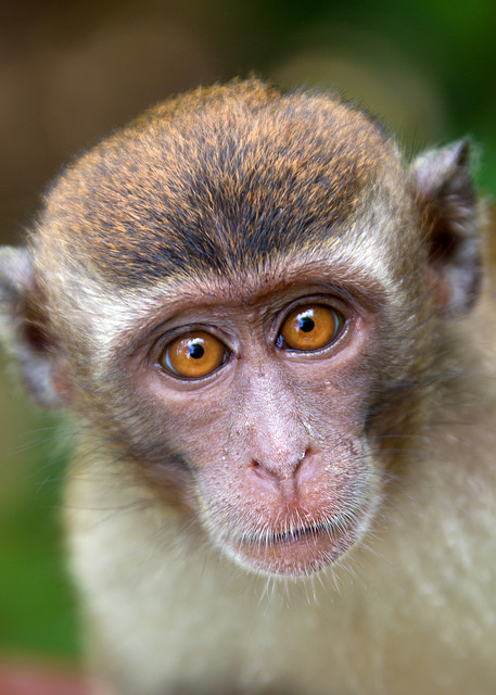 Portrait of a Long-tailed Macaque