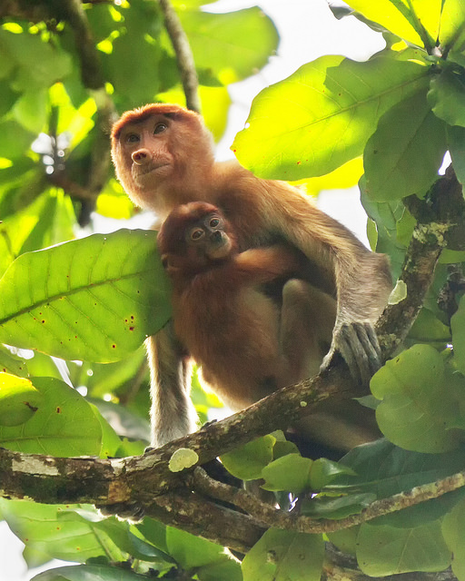 Proboscis Monkey and Baby on the Move