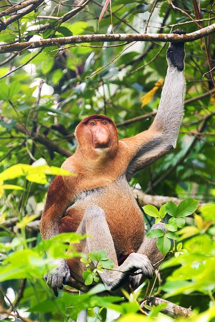 Proboscis Monkey Holding a Branch