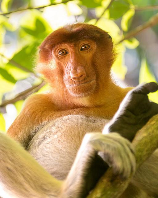 Proboscis Monkey Looking Down