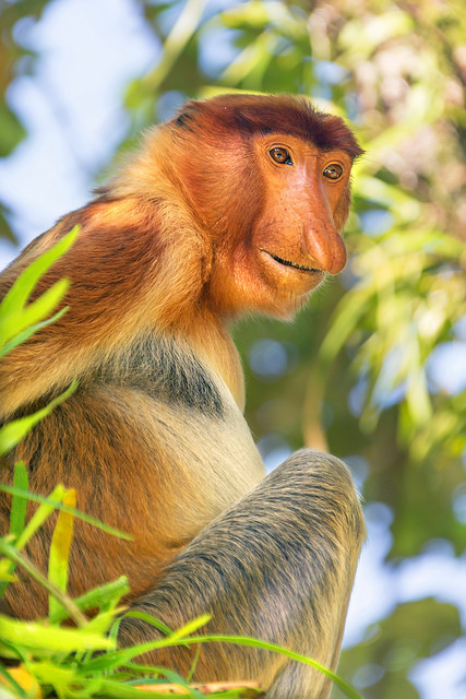 Proboscis Monkey Portrait